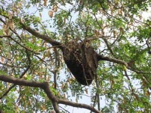 A large colony of African Bees nesting on a branch outdoors.