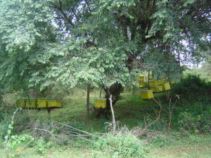 Apiary of Langstroth hives in Koibatek, Kenya
